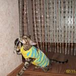 питомник бенгальских кошек в москве