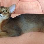 Абиссинская кошка2