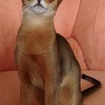 Абиссинская кошка3