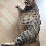 беременные кошки фото