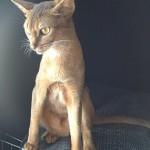 абиссинская кошка4