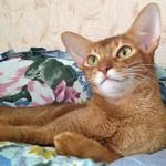 абиссинская кошка5