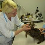 Стригущий лишай у кошек (диагностика и лечение)