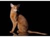 Абиссинский кот Валик