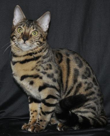 Эмилия - Бенгальская кошка