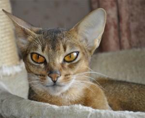 Фото абиссинской кошки