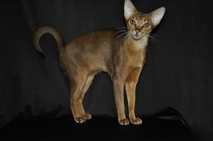 Абиссинка кошка